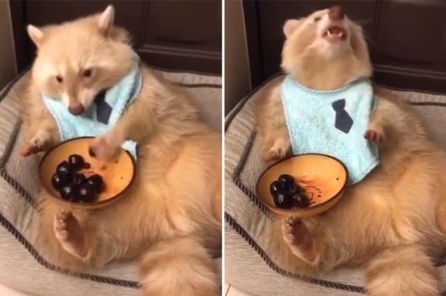This raccoon loves to eat cherries
