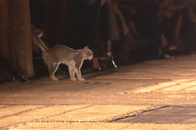 Cat purr-rades along Dior runway in Morocco