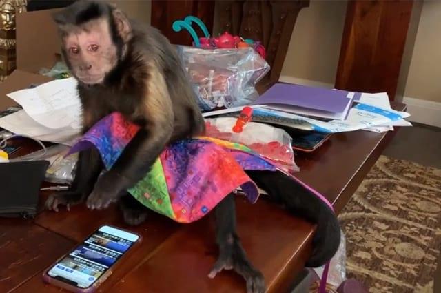 Monkey struggles to make sense of smartphone