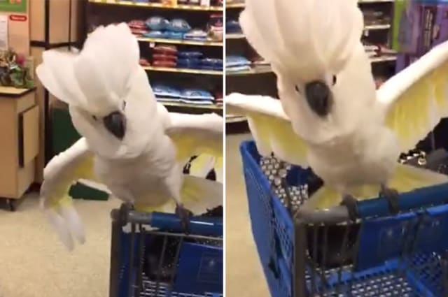 Why you should never take a cockatoo shopping