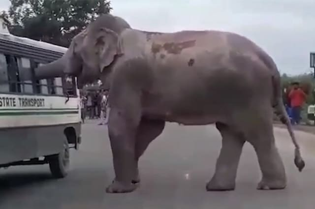 Hungry wild elephant intercepts bus to extort food from driver in east India