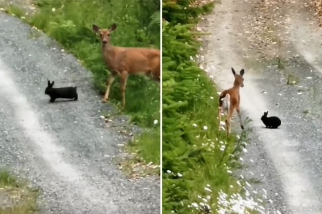 Wild deer and bunny dubbed 'real life Bambi and Thumper'