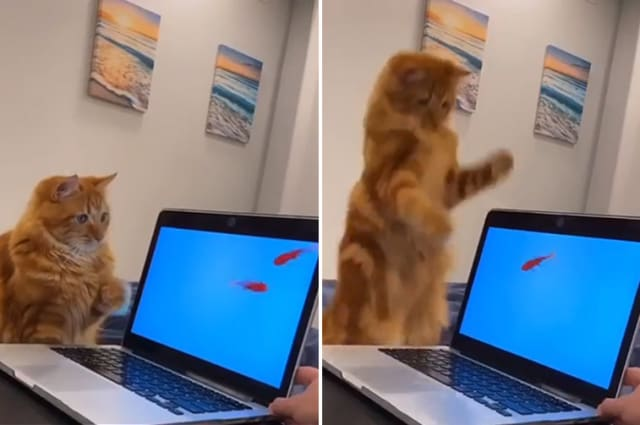Cats and screensavers featuring fish don't mix