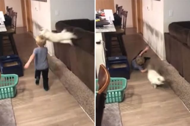 Cat pounces on kid while he runs and knocks him down