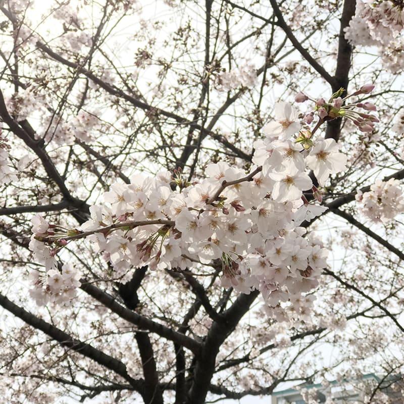 ニュース 速報 まとめ 桜
