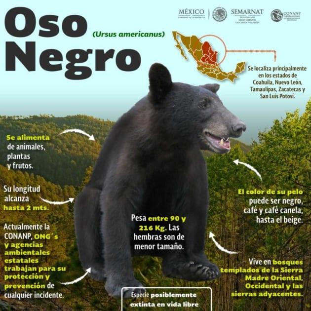 Los osos negros son parte de la fauna del noreste mexicano.