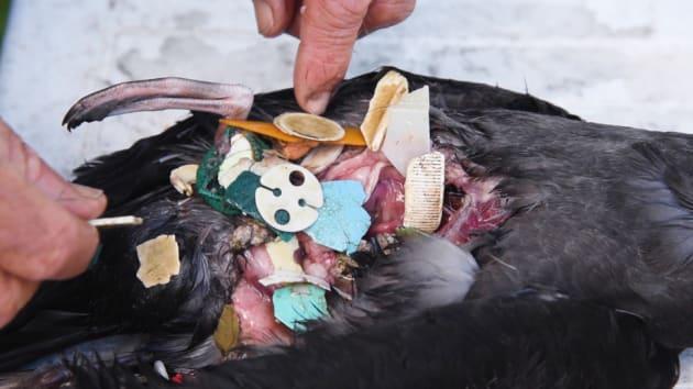 たくさんのプラスチックゴミが詰まった鳥の胃