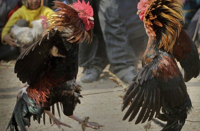 Rooster kills man during cockfight