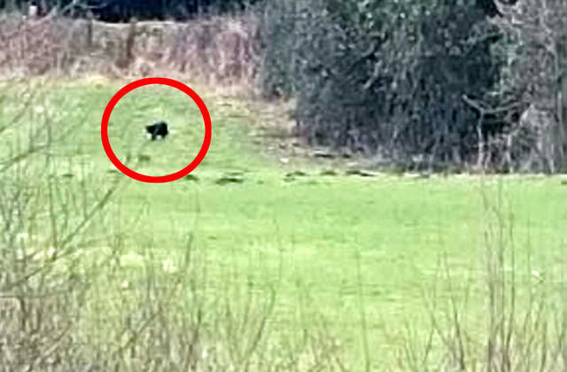 Big cat 'the size of a sheep' spotted on the prowl in Wales