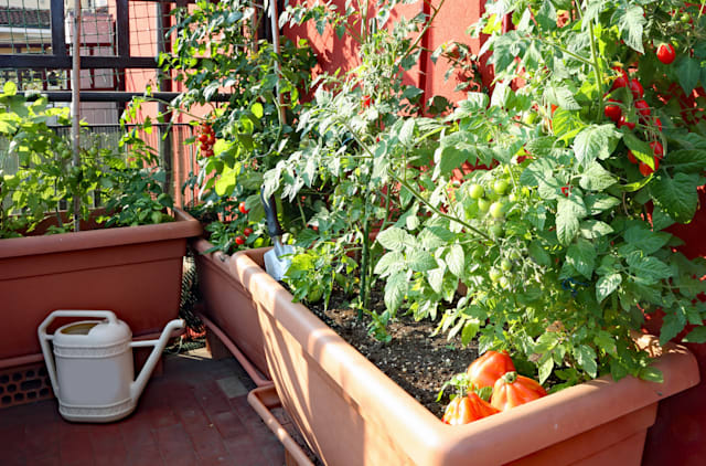 cultivation of red small Tomatoes in the pots of an urban garden on the terrace of an apartment