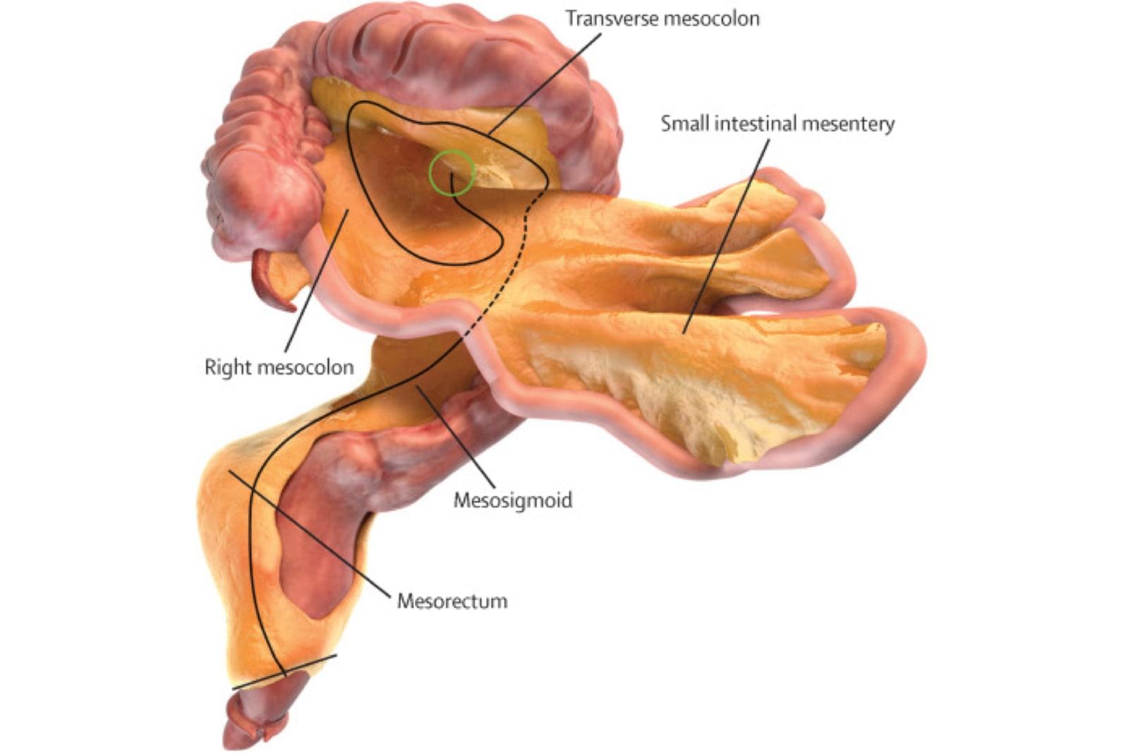 Scientists confirm a \'new\' human organ