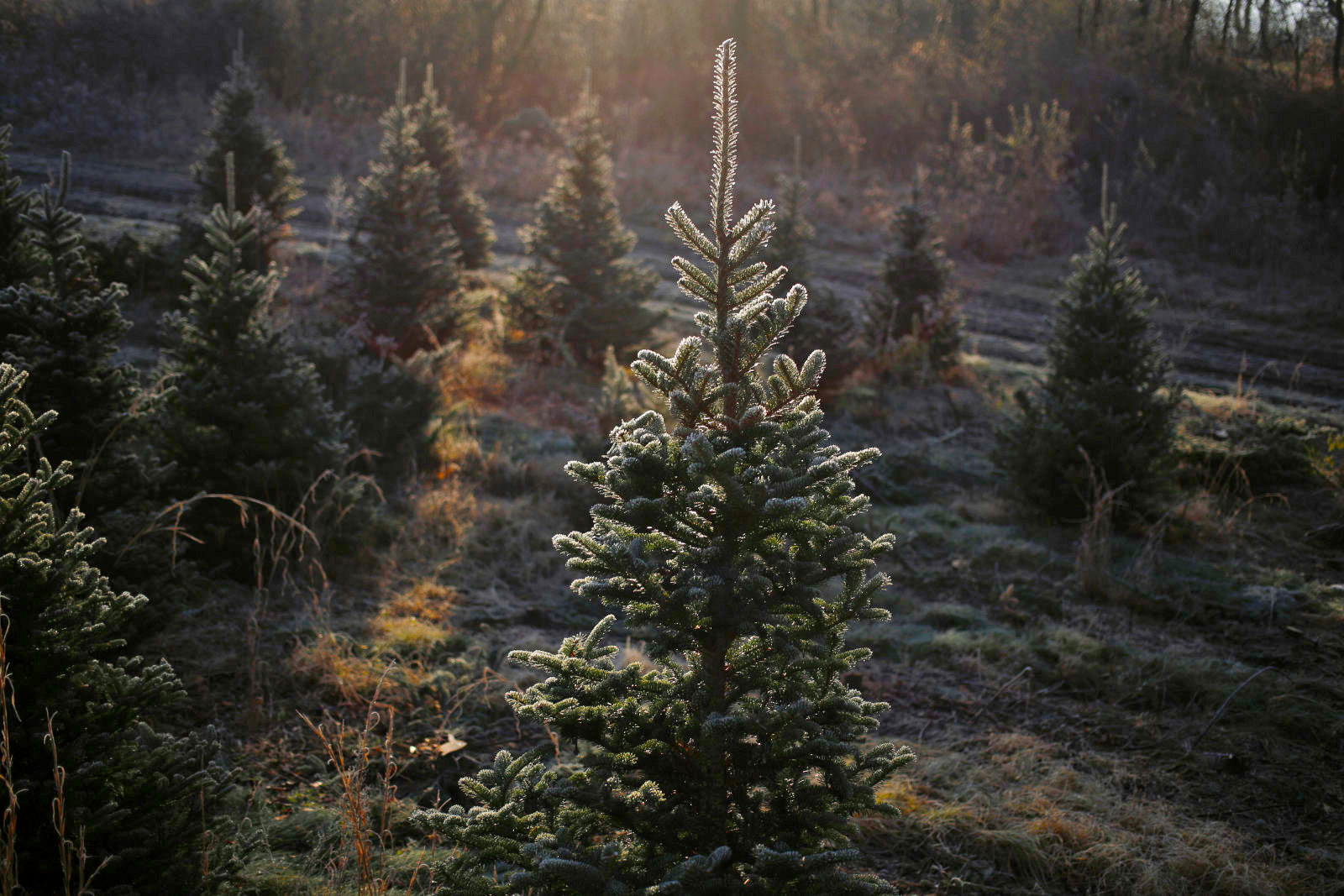 bloomberg via getty images - Amazon Com Christmas Trees