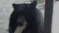 Video: B.C. Bears Fed On Patio May Have To Be Put