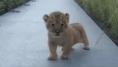 Intenta rugir como un gran león, pero solo provoca