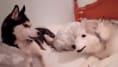 La entrañable discusión entre dos perros que te sacará una