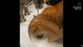 Ces chats s'y prennent très mal pour boire au