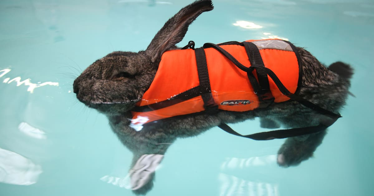 rabbit named heidi eases arthritis with hydrotherapy pictures