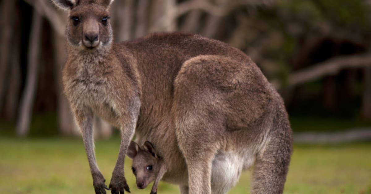 Fun Fact: Kängurus können ihre Schwangerschaft pausieren