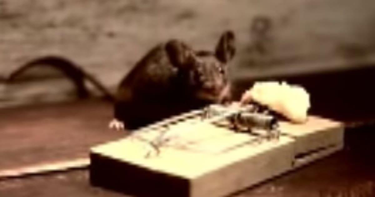verbl ffend diese kleine maus besiegt eine mausefalle video huffpost deutschland. Black Bedroom Furniture Sets. Home Design Ideas