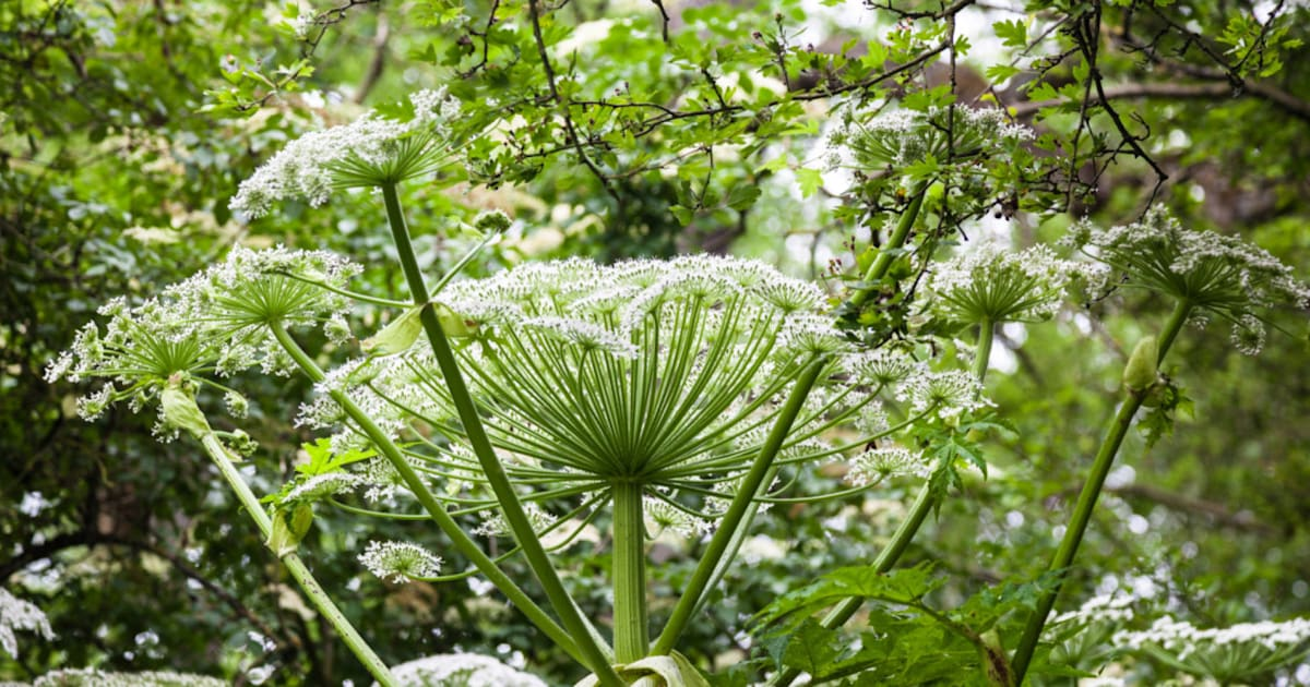 Giant Hogweed Burns Treatment What Should You Do If You Touch The