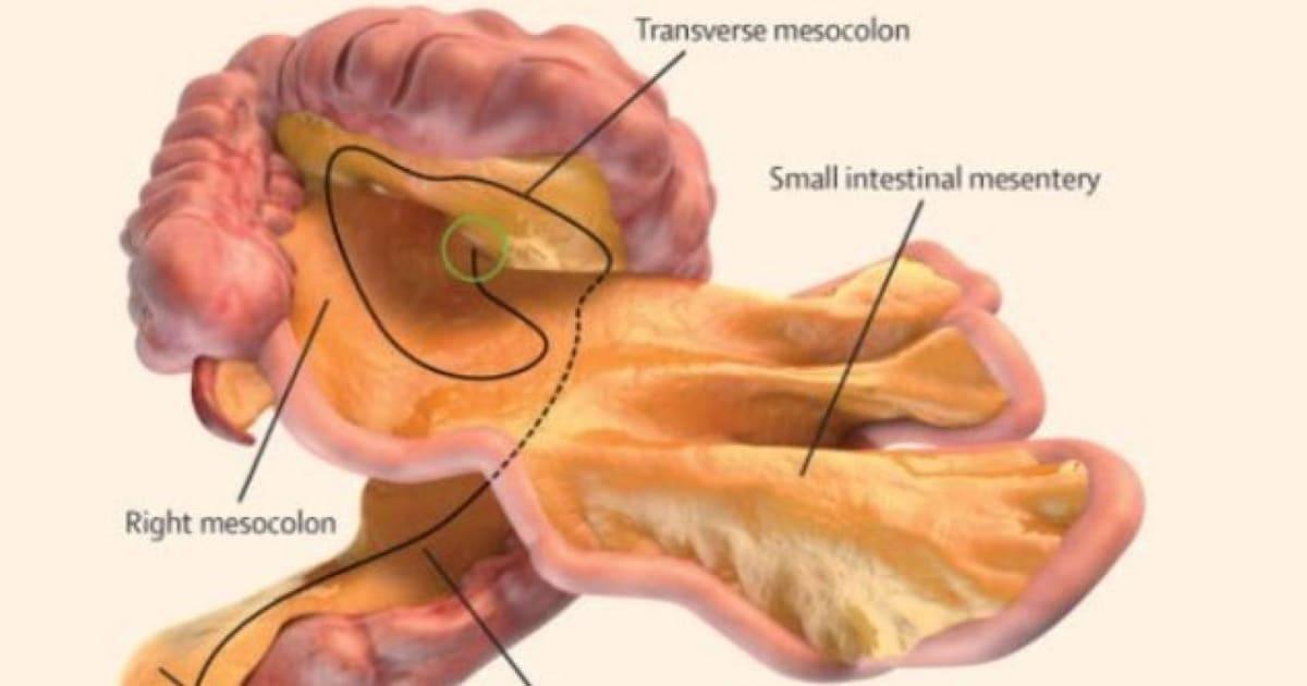 Weiteres Organ im menschlichen Körper identifiziert: Es stellt ...