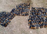 It's So Hot In Australia, Hundreds Of Bats Just Dropped