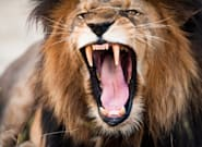 Lions Kill And Eat Suspected