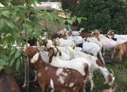 Boise, Idaho Neighbourhood Hit With Roving Goat