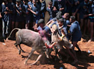 36 Injured In Jallikattu Held In Tamil Nadu's Madurai District After 3 Years And Massive