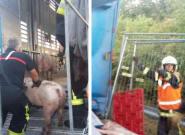 113 cochons tués dans un accident de camion sur