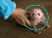 Grâce à la ruse de ses gardiens, cette maman panda a évité le pire avec ses jumeaux
