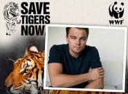Les Tigres du Bengale ont quasi-doublé au Nepal (et Leonardo DiCaprio n'y est pas pour
