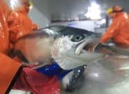 Le Chili craint une crise environnementale après que 700.000 saumons traités aux antibiotiques se sont