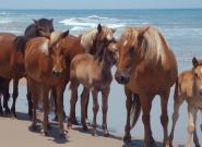 Face à l'ouragan Florence, les chevaux de Caroline de Nord ont la technique pour rester
