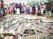 ¿Qué ha pasado con estos 300 cocodrilos