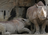 A Photo Of A Rhinoceros And Her Baby Is Putting Breastfeeding Shamers In Their