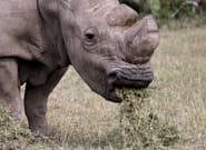 Sudan, The World's Last Male Northern White Rhino, Has