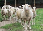 Fête du mouton: Les cornes et la