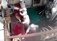 Palizas y degollamientos en vida: así tratan a los animales en este matadero de