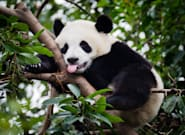 Airline Keeps Calgary Zoo's Pandas Happy With Bamboo