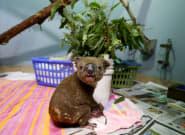 En Australie, 2000 koalas seraient morts dans les