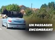 Dans le Gard, il transporte un taureau… dans sa