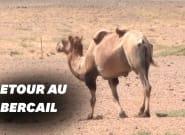 Ce chameau courageux a traversé un désert pour retourner chez son