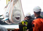Liberan dos ballenas beluga en un santuario de la costa de