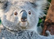 Nacen nueve koalas tras los incendios que pusieron en peligro la especie en