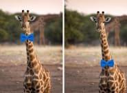 Debate Is Raging On Twitter Over How A Giraffe Should Wear A Bow