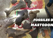 En Colombie, des mineurs tombent sur des fossiles de mastodonte vieux de 10.000
