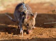 Un rat détecteur de mines récompensé pour sa