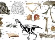 Une nouvelle espèce de dinosaure sans dent découverte en