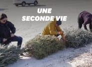 Le Texas a trouvé une utilité aux sapins de Noël après les
